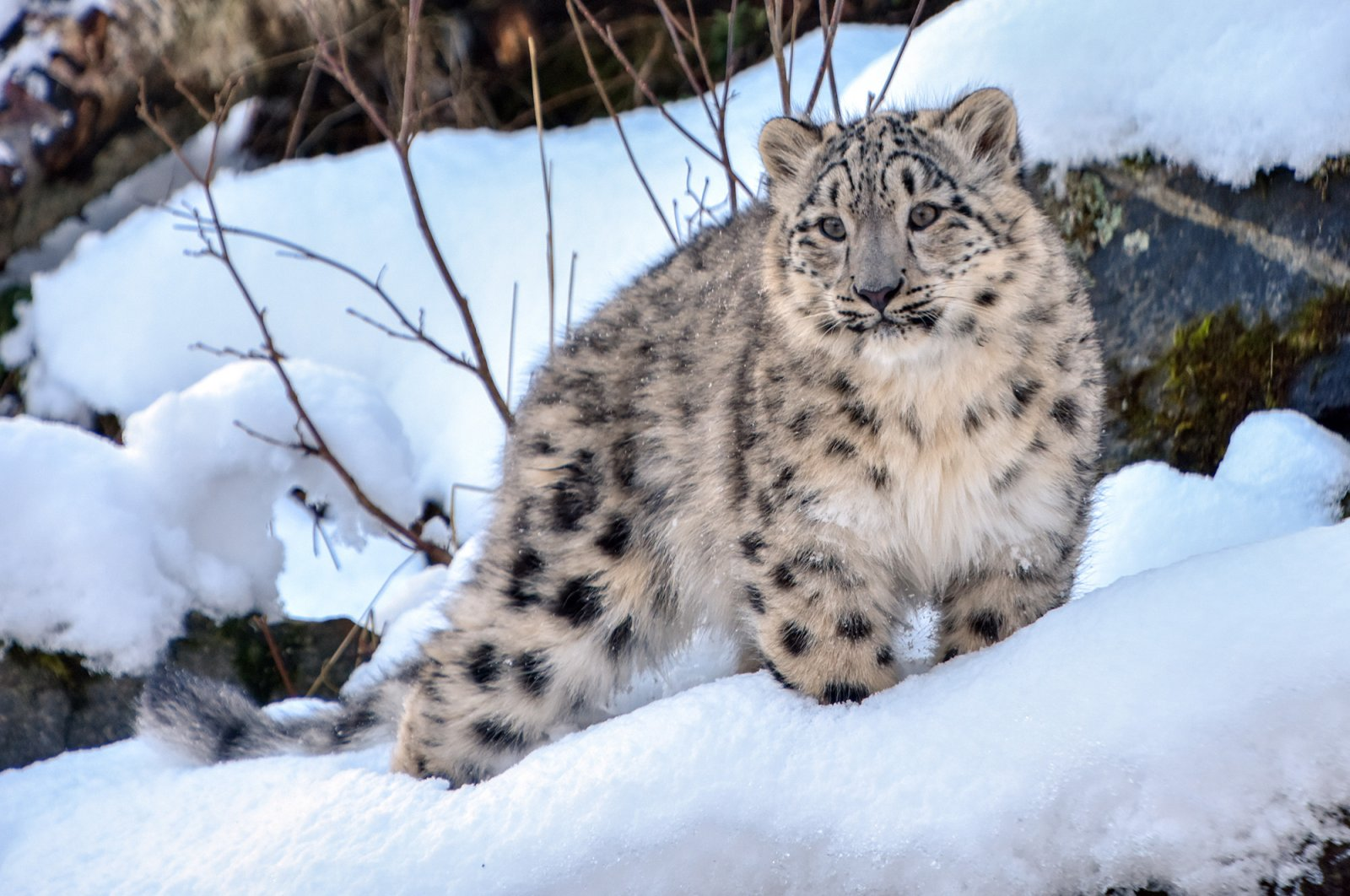 Leannain and Stardust, the 7-month-old snow leopard cubs at the Royal Zoological Society of Scotland's Highland Wildlife Park, have been enjoying the winter weather at their home in Cairngorms National Park. (Reuters File Photo)