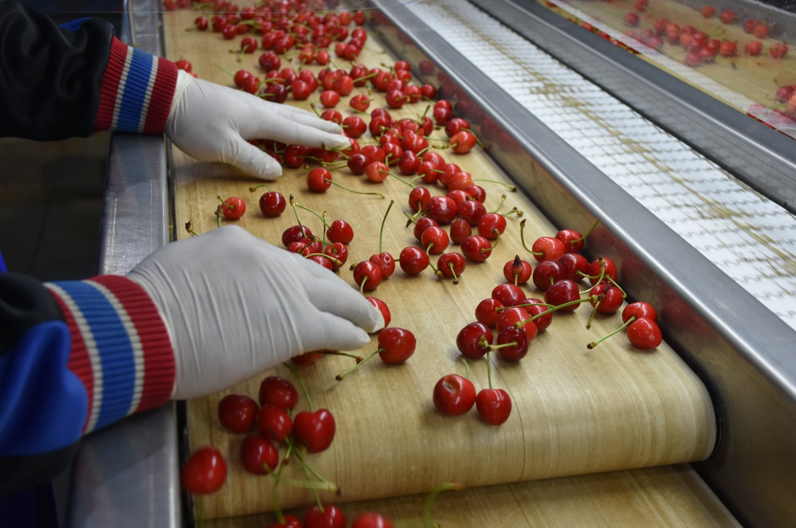 A worker checks cherries before distribution at a factory, southern Manisa province, Turkey, May 24 2020. (AA Photo)