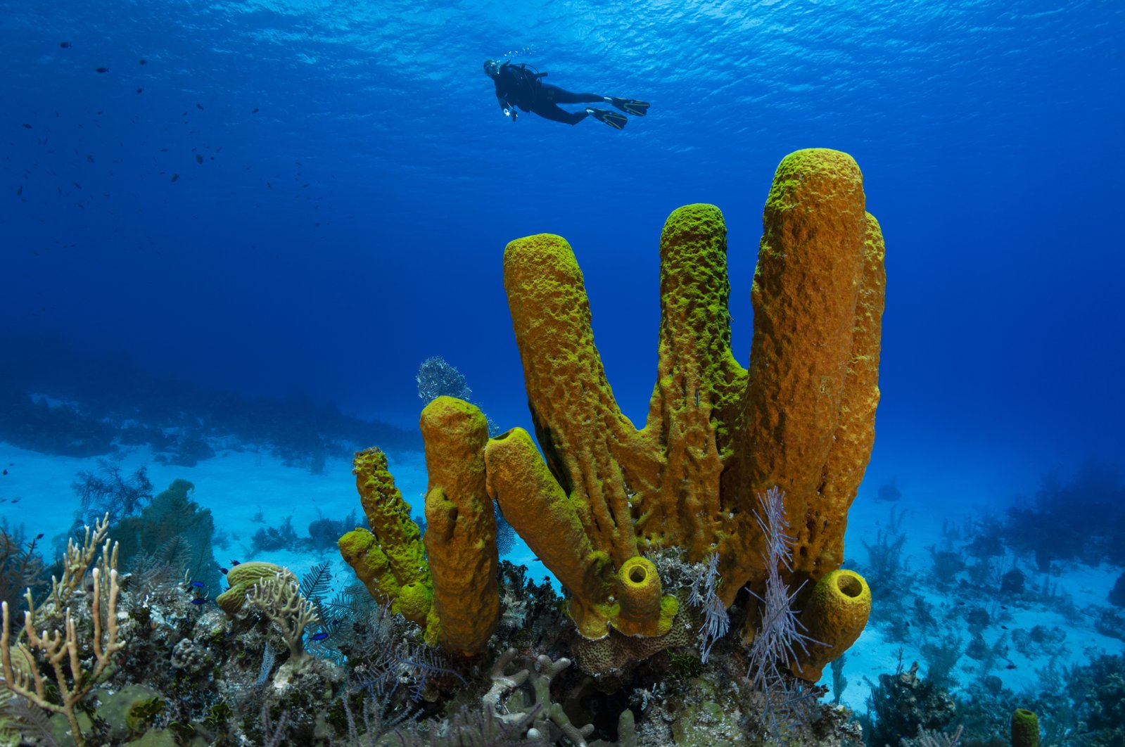 Yellow tube sponges (pictured) are filter feeders, which means that they eat plankton and bacteria and are not carnivores. (iStock Photo)