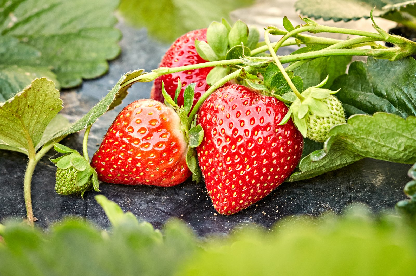 Bugs and worms can live in your strawberries, though it is rare. (iStock Photo)