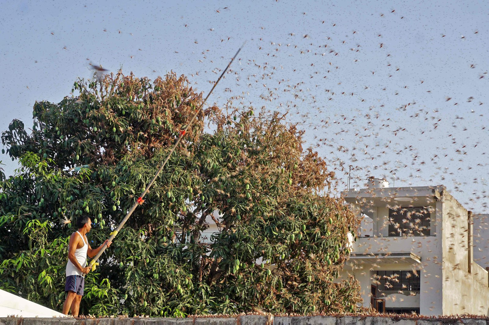 A resident tries to fend off swarms of locusts from a mango tree in a residential area of Jaipur in the Indian state of Rajasthan, May 25, 2020. (AFP Photo)