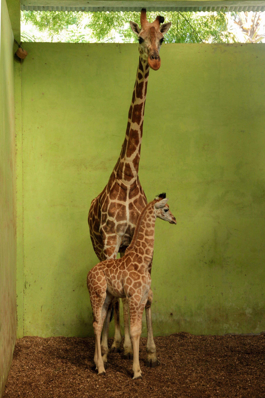 AFP Photo/Bali Safari Park