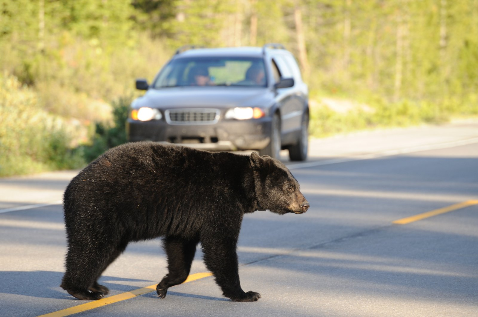 A black bear walks across a road as a car pulls over to the side of the road to watch. (iStock Photo)
