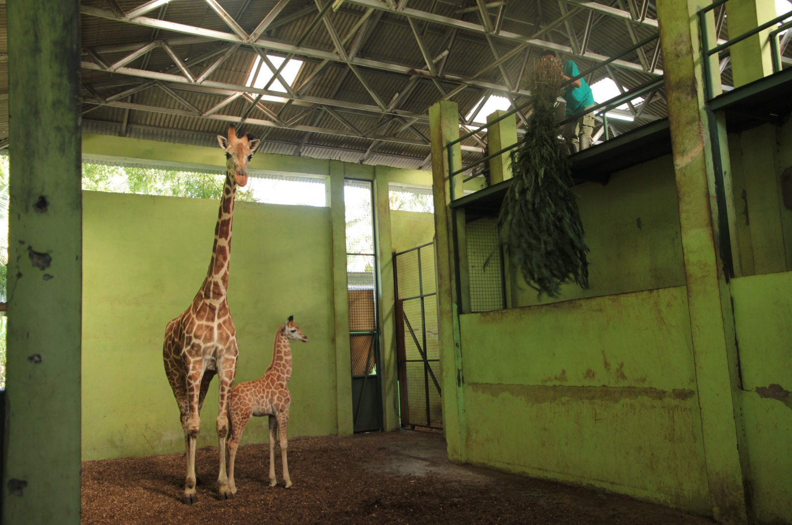 """A baby giraffe, who was born on April 9 and named """"Corona,"""" standing with its mother at the Bali Safari Park in Gianyar on the Indonesian resort island of Bali, May 27, 2020. (AFP Photo/Bali Safari Park)"""