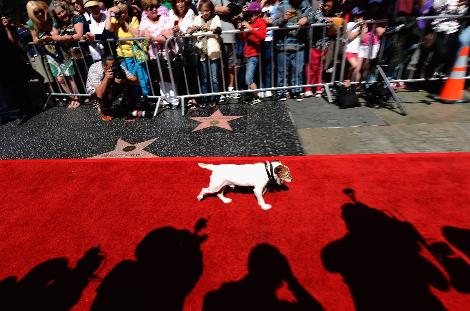 """Uggie, the canine star form the film """"The Artist"""" which won an Academy Award for Best Picture, walks the red carpet as he arrives with his trainer Omar Von Muller outside Grauman's Chinese Theatre to cast his paw prints in cement during a ceremony marking his retirement from show business in Hollywood, California, June 25, 2012. (AFP Photo)"""