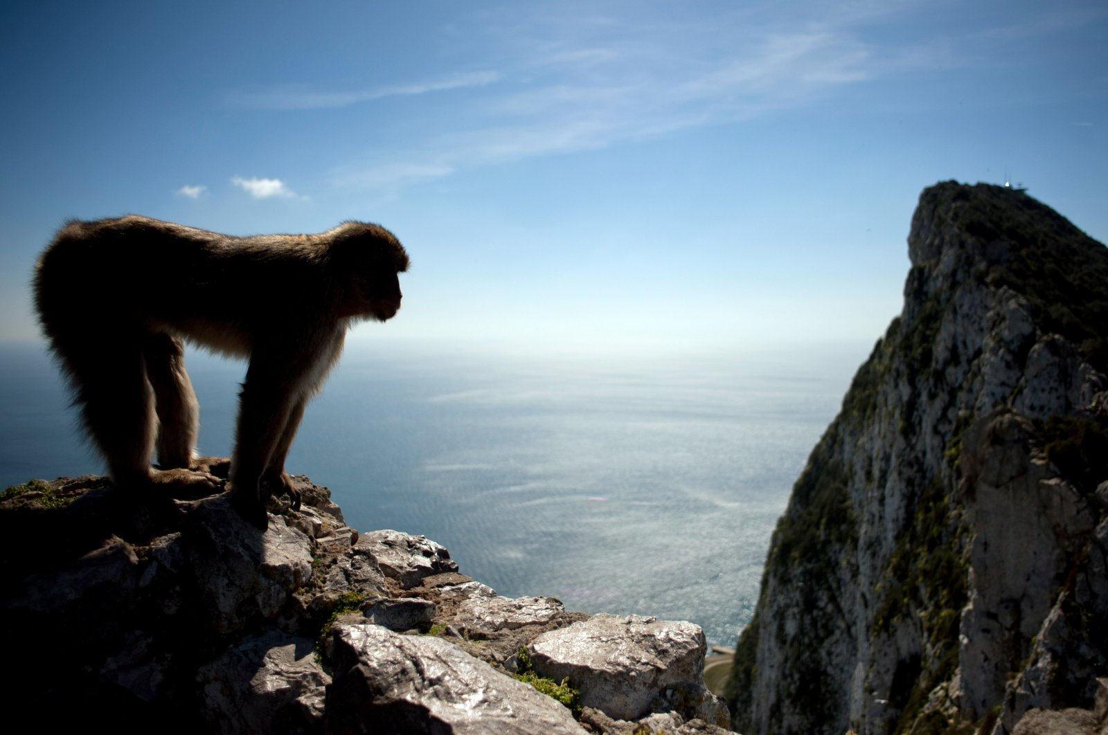 A macaque monkey stands in the heights of Gibraltar, March 17, 2016. (AFP Photo)