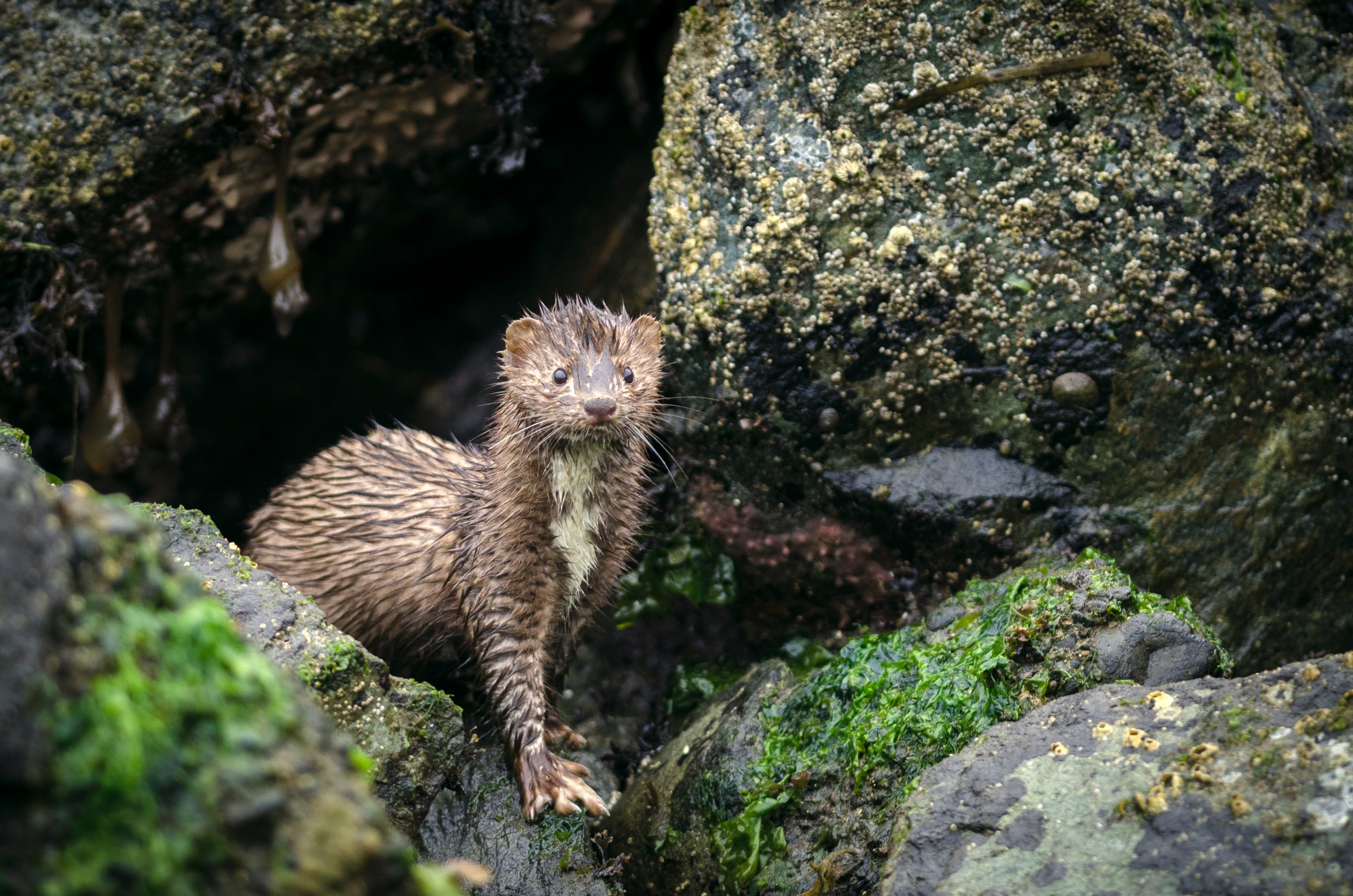 The cases are the first confirmed mink-to-human transmission cases in the world. (iStock Photo)