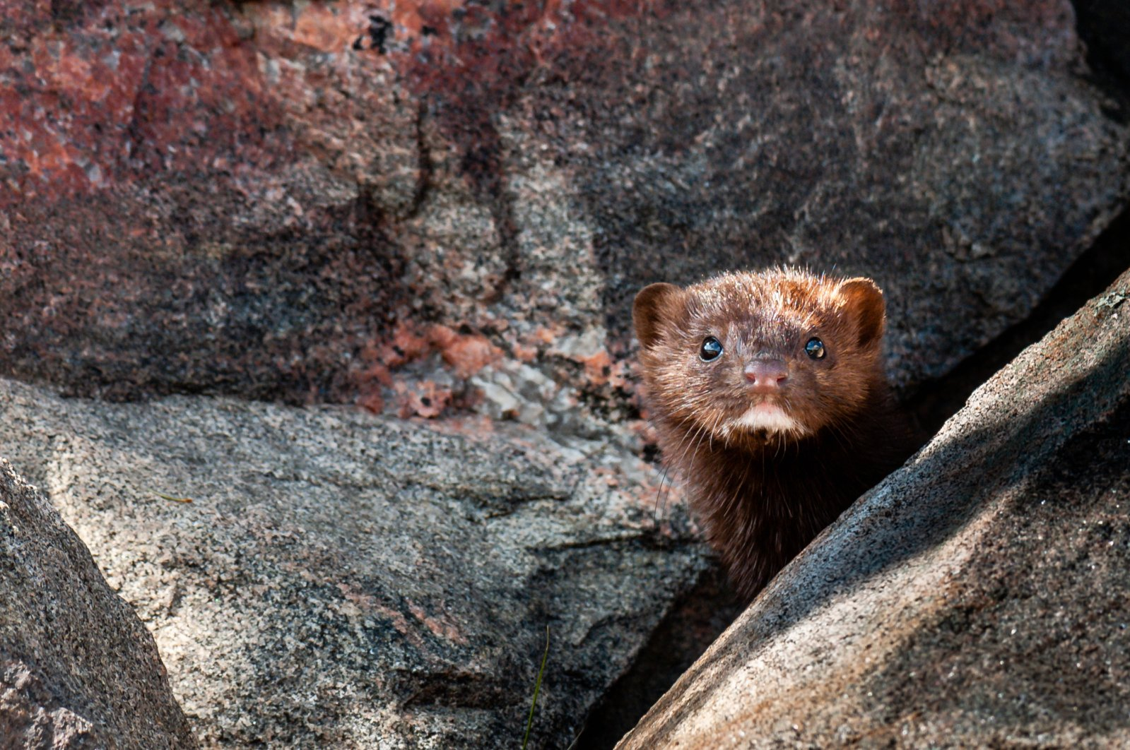 At least three people have caught the coronavirus from mink in the Netherlands. (iStock Photo)