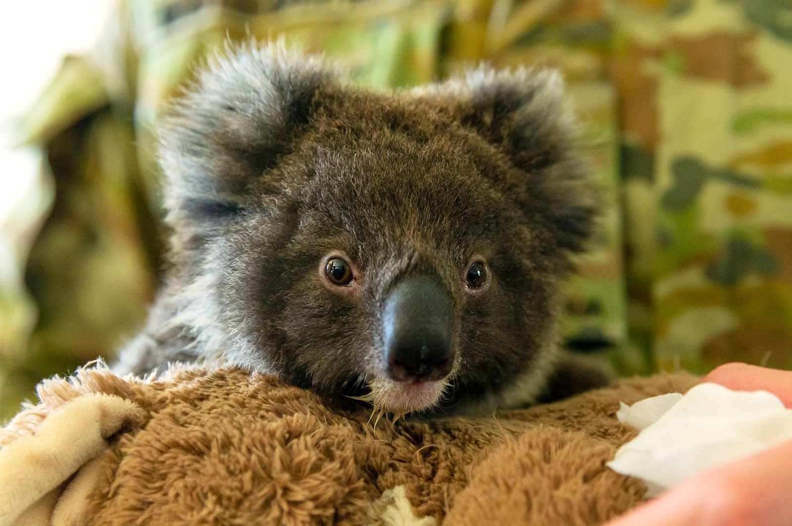 An orphaned baby koala being fed by Private Tyler Moseley-Greatwich from the 10th/27th Battalion, Royal South Australia Regiment, at the Kangaroo Island Wildlife Park in Kingscot, Jan. 7, 2020. (Photo by Tristan Kennedy/Australian Department of Defence via AFP)