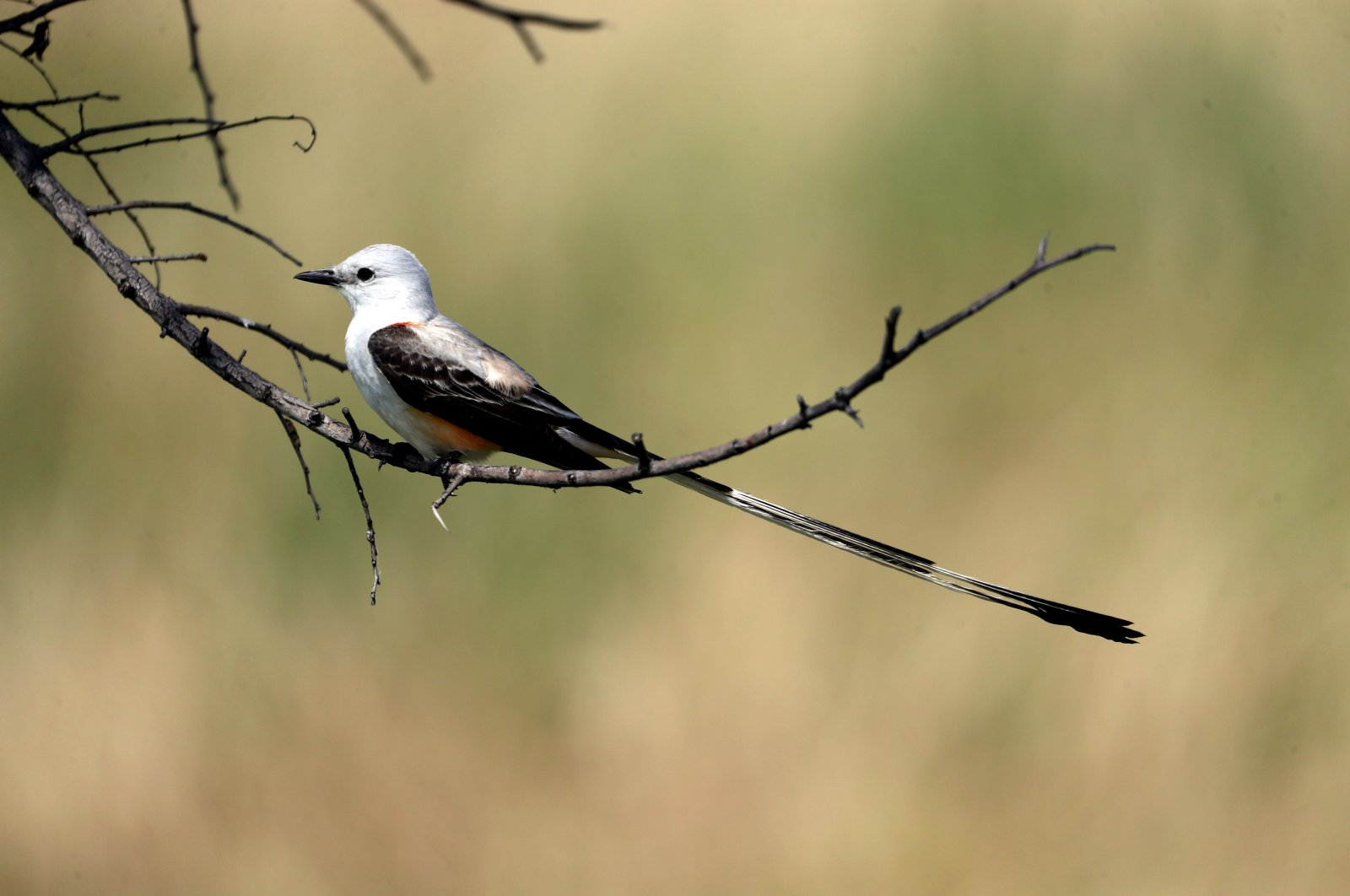 A scissor-tailed flycatcher bird sits on a tree branch during the first round of the Energy Producers, Inc. Texas Women's Open in The Colony, Texas, June 02, 2020 . (AFP Photo)