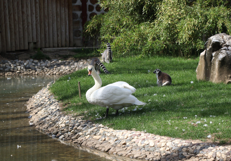 在公园里很容易发现天鹅和野鸭蹒跚地走来走去。 (AA照片)