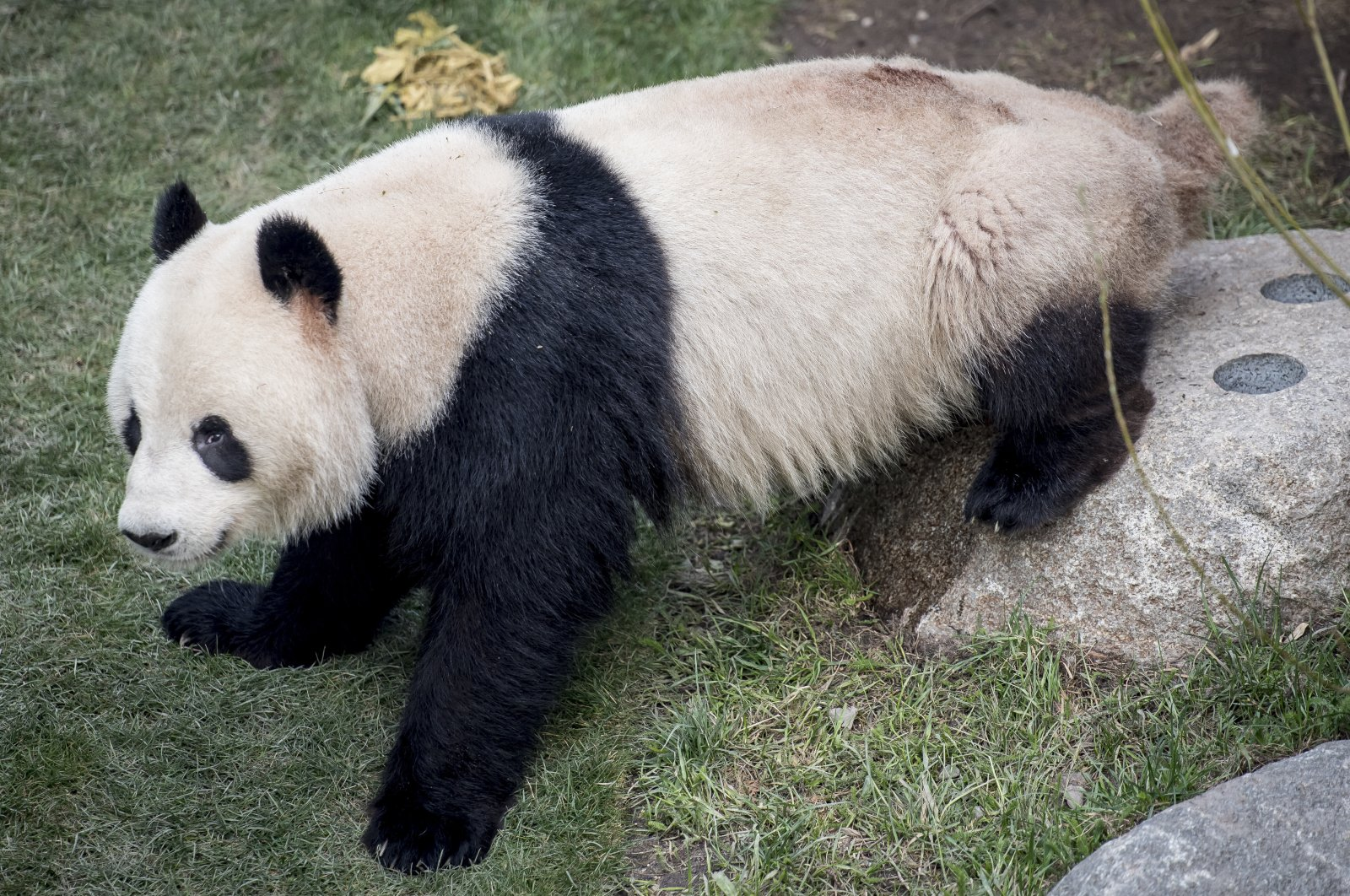 Xing Er, one of Copenhagen Zoo's giant pandas, escaped from its enclosure, Cophenhagen, on June 8, 2020. (AP Photo)