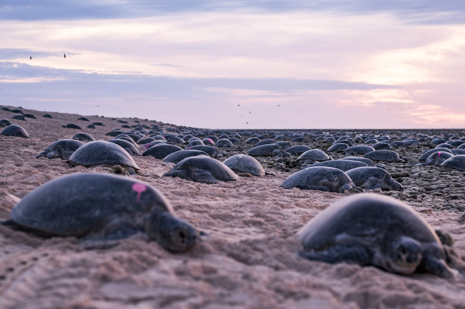 In this undated photo, green turtles nest on at the world's largest green turtle rookery on Raine Island, a remote vegetated coral cay situated 620 kilometers (385 miles) northwest of Cairns, Australia. (Great Barrier Reef Foundation via AFP)