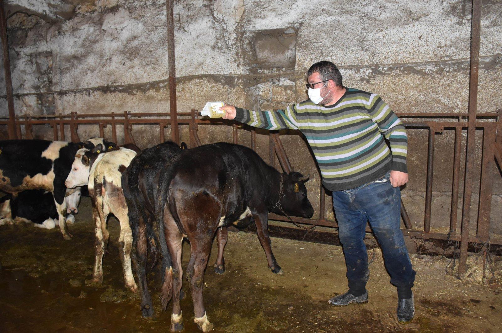 A man sprays a pesticide against ticks on cattle in Sivas, Turkey, June 4, 2020. (DHA Photo)