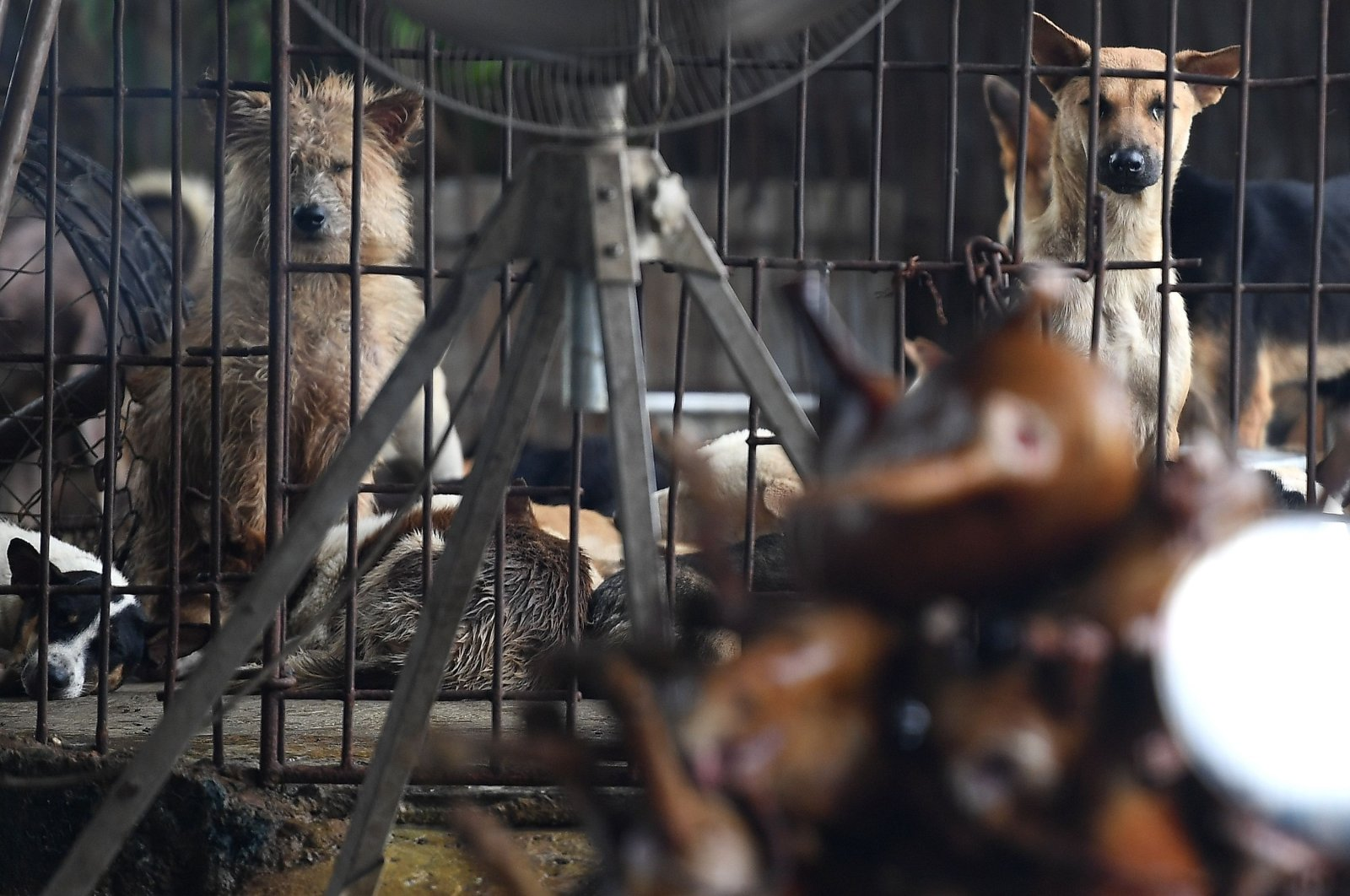 Dogs are kept in a cage at a slaughterhouse in Hanoi on June 15, 2020. (AFP Photo)
