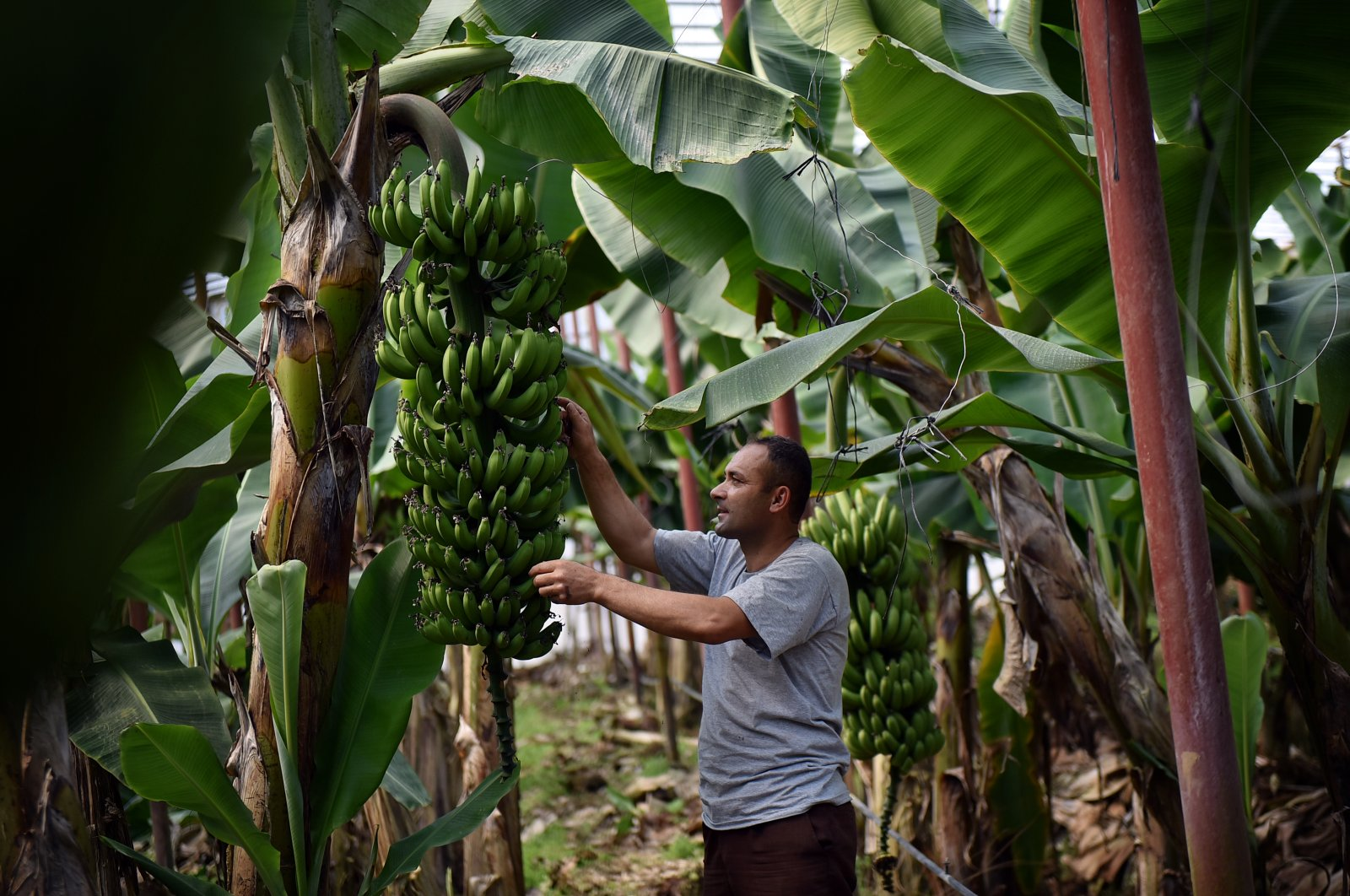 An agricultural worker checks a banana tree in a greenhouse in southern Mersin province's Anamur district, June 15, 2020. (AA Photo)
