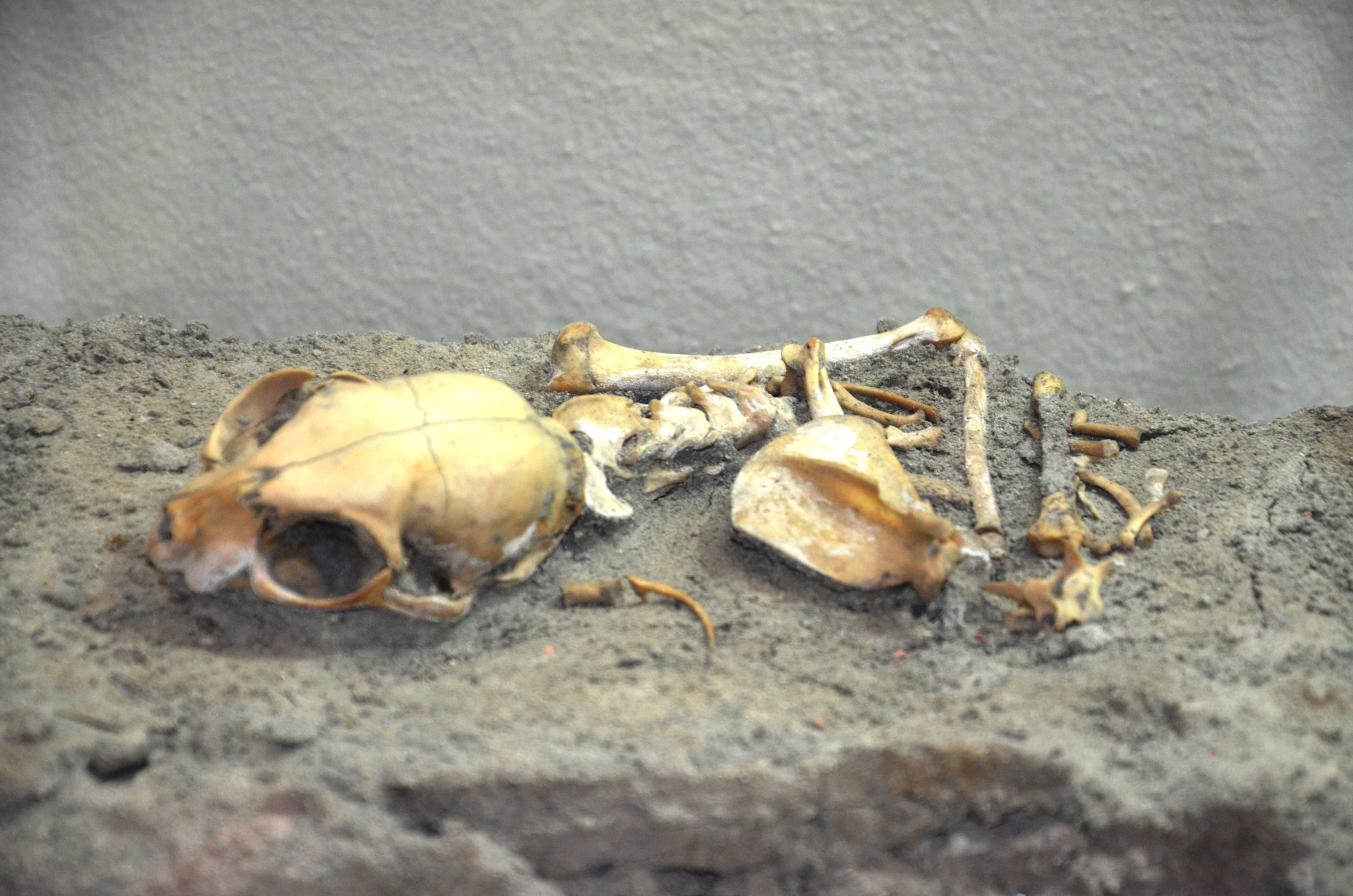 One of the cat skeletons unearthed during the excavations in the Yenikapı area. (DHA Photo)