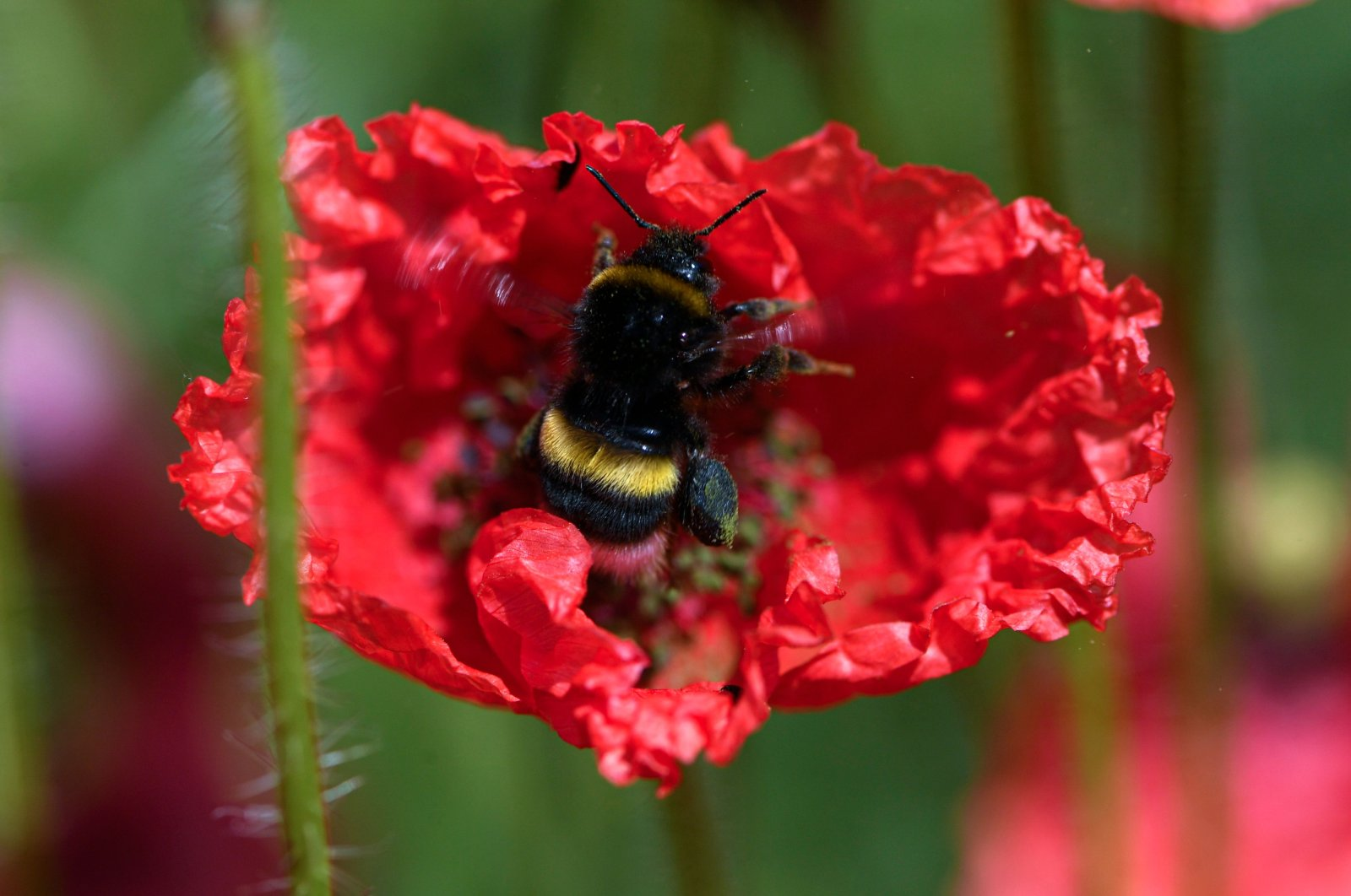 A bumble bee sits on a red poppy in full bloom in Kamen, western Germany, June 12, 2020. (AFP Photo)