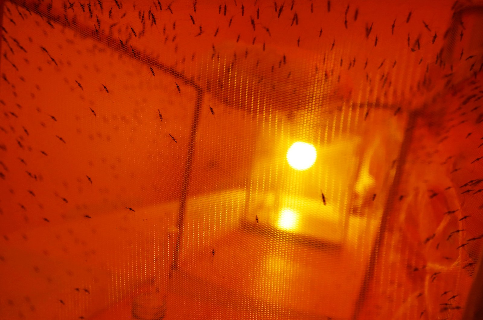 Mosquitoes used for research are seen inside a laboratory at the International Centre of Insect Physiology and Ecology (ICIPE) headquarters in Nairobi, Kenya, May 11, 2020. (Reuters Photo)