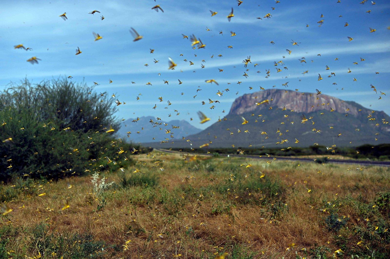 Locusts swarm from ground vegetation as people approach at Lerata village, near Archers Post in Samburu county, approximately 300 kilometers (186 miles) north of the Kenyan capital, Nairobi, Jan. 22, 2020. (AFP Photo)