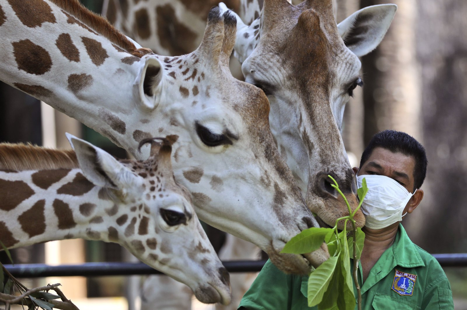 A zookeeper wearing protective face mask feeds giraffes at Ragunan Zoo prior to its reopening after weeks of closure due to the large-scale restrictions imposed to help curb the new coronavirus outbreak, in Jakarta, Indonesia, Wednesday, June 17, 2020. (AP Photo)