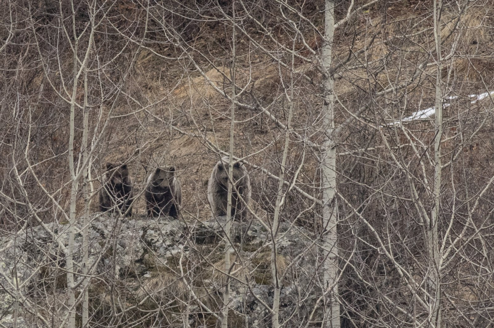 Bears spotted in the Black Sea province of Rize, Turkey, June 22, 2020. (DHA Photo)