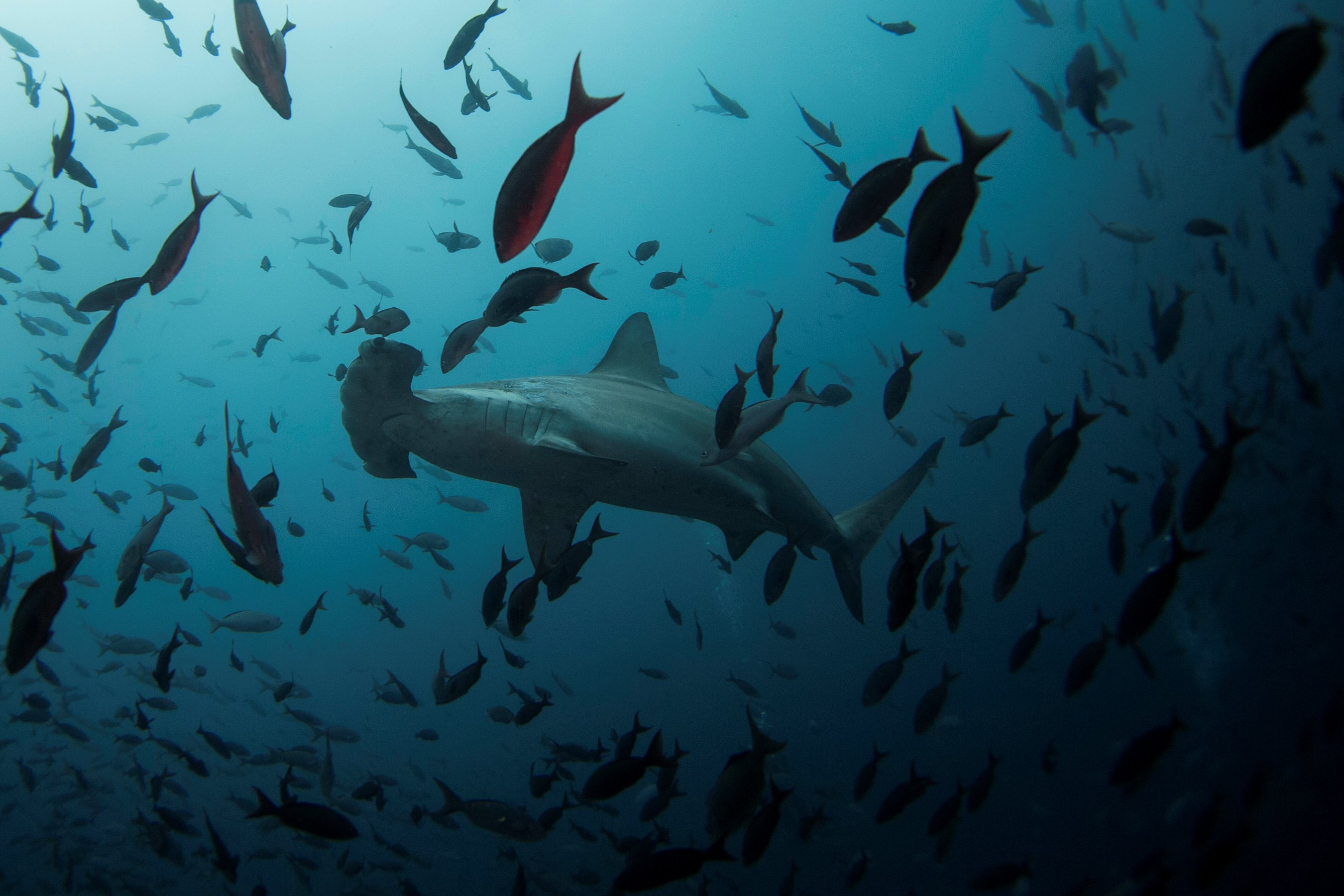 A hammerhead shark swims close to Wolf Island at Galapagos Marine Reserve on August 19, 2013. (REUTERS Photo)