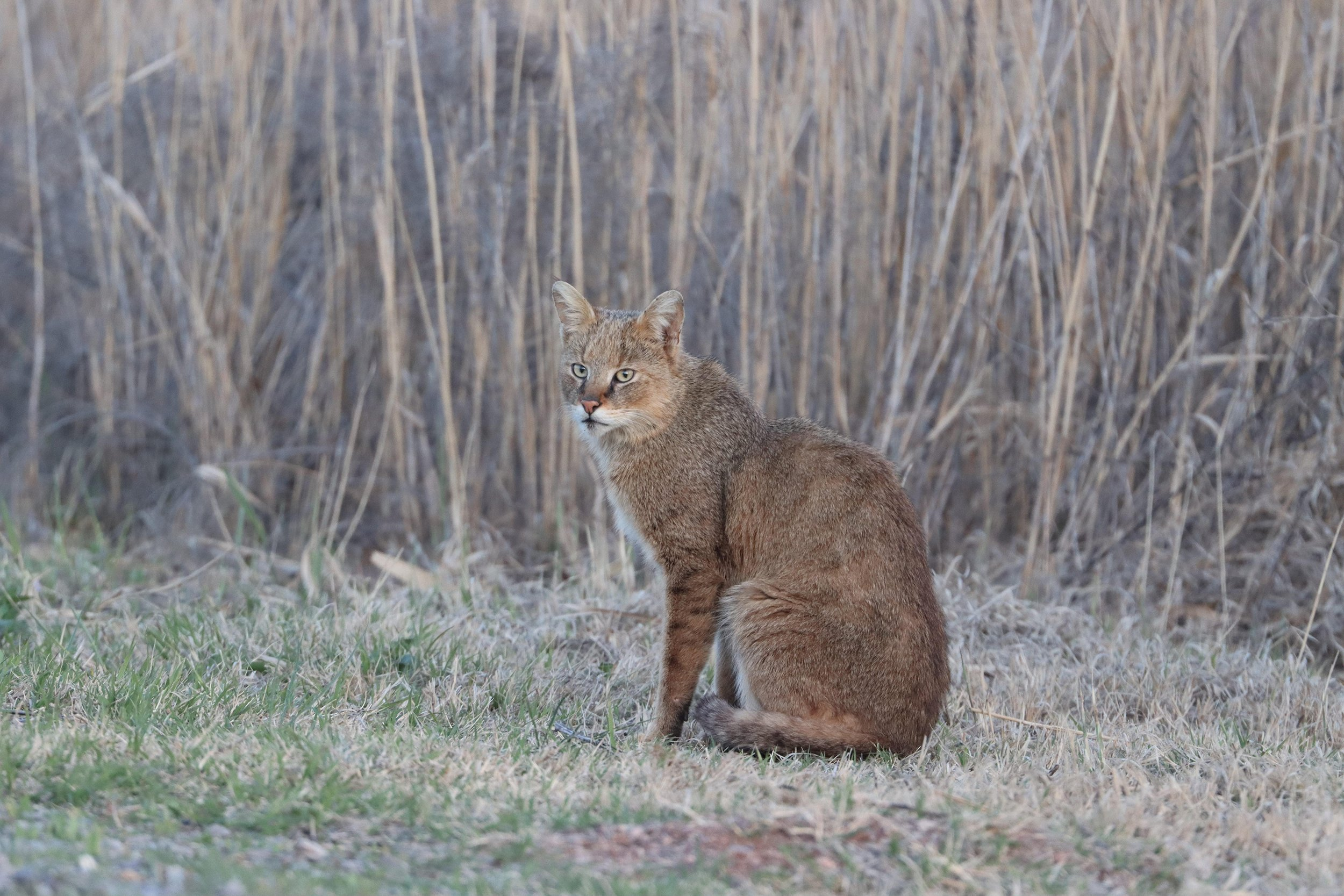 The jungle cat, also called reed cat or swamp cat, is indigenous to the Middle East as well as Southeast Asia.