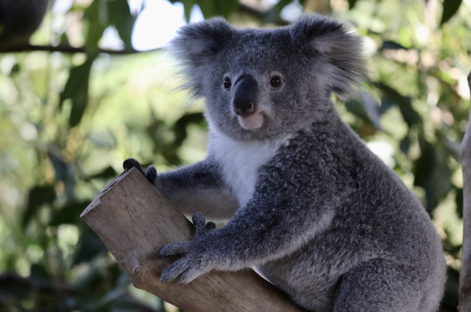 Elsa the koala at the Australian Zoo on June 10, 2020. (Reuters Photo)