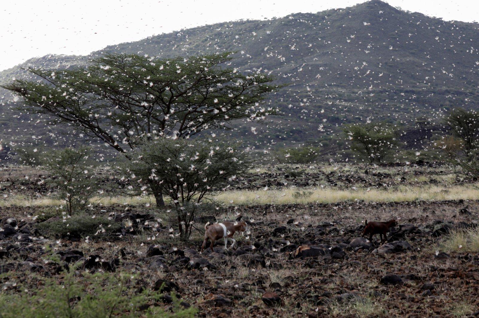 Goats walk as a locust swarm fly near the town of Lodwar, Turkana county, northwestern Kenya, June 28, 2020. (REUTERS Photo)