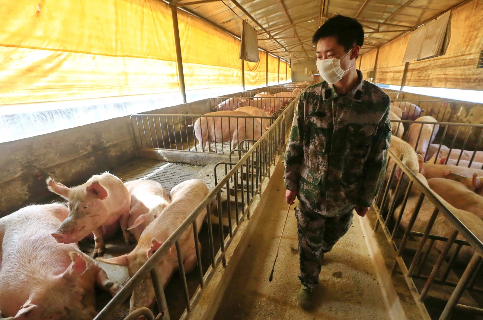 A masked worker checks the pigs in a hog pen in Suining, Sichuan province, China, February 21, 2020. (EPA Photo)