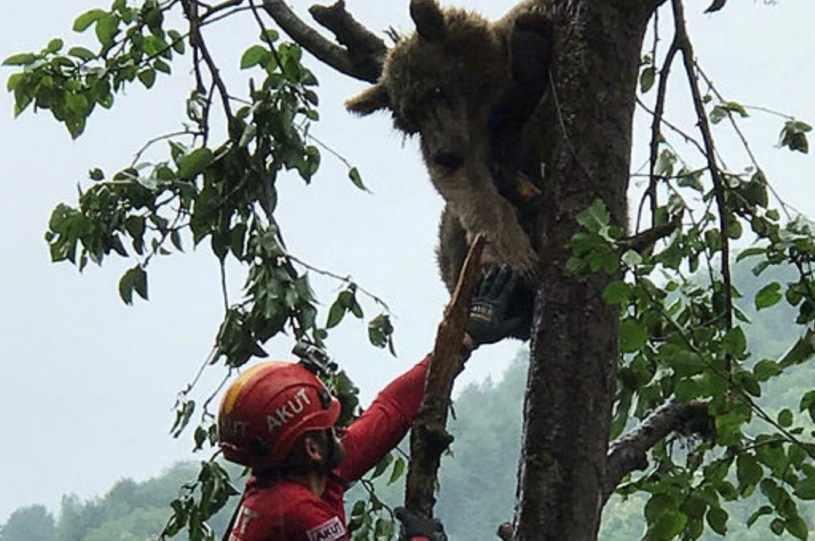 A rescue worker tries to reach the stranded bear, in Rize, Turkey, July 1, 2020. (DHA Photo)