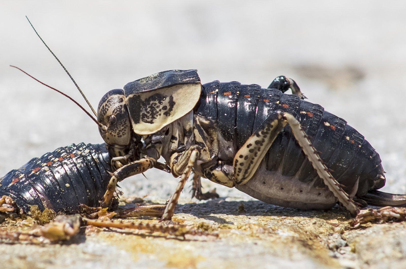A female Bradyporus karabagi eats a male of her own species alive, near Karacadağ dormant volcano, Diyarbakır, Turkey, June 1, 2020. (DHA Photo)