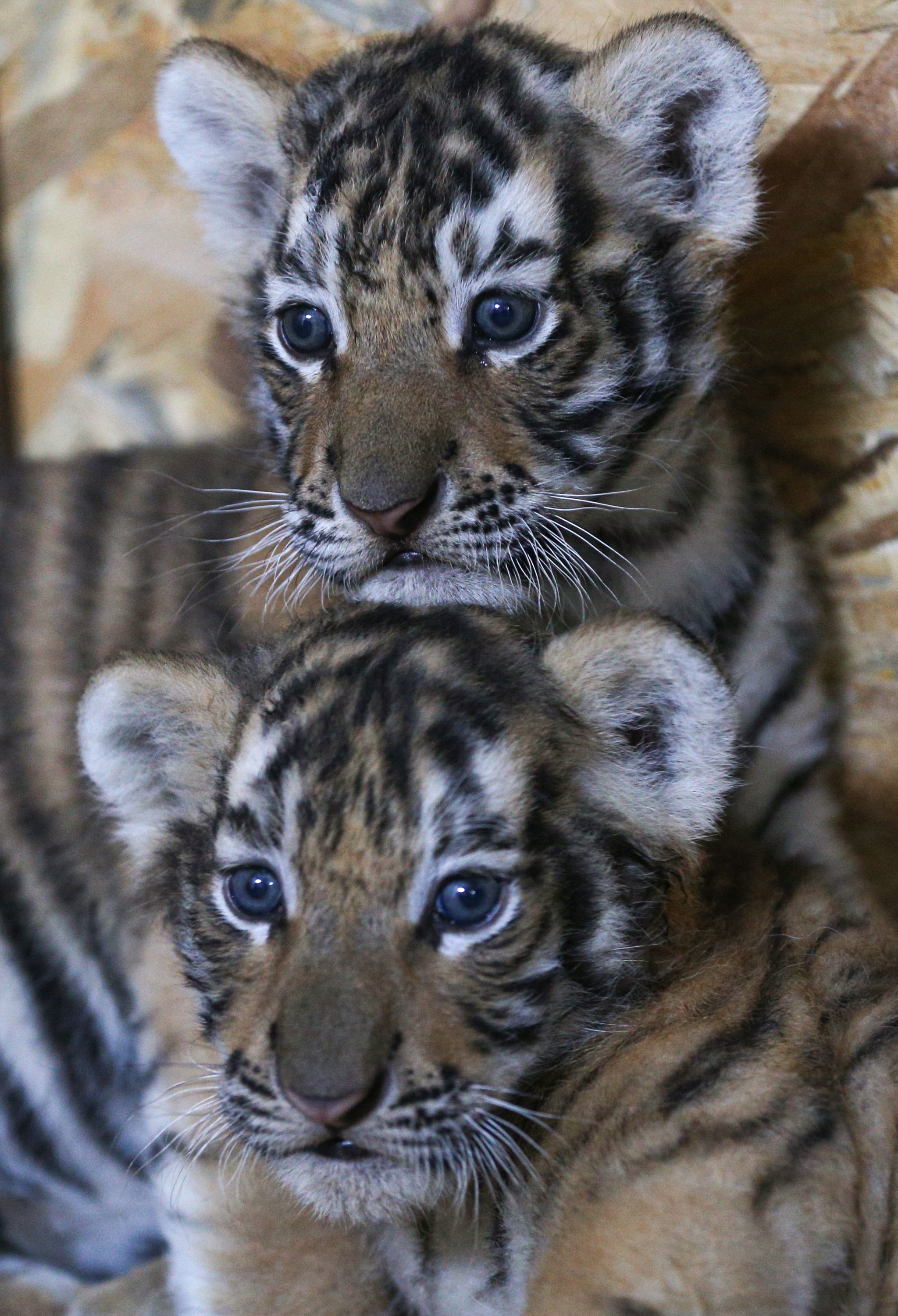 Two Bengal tiger cubs are nearly ready to meet visitors at AslanPark. (AA Photo)