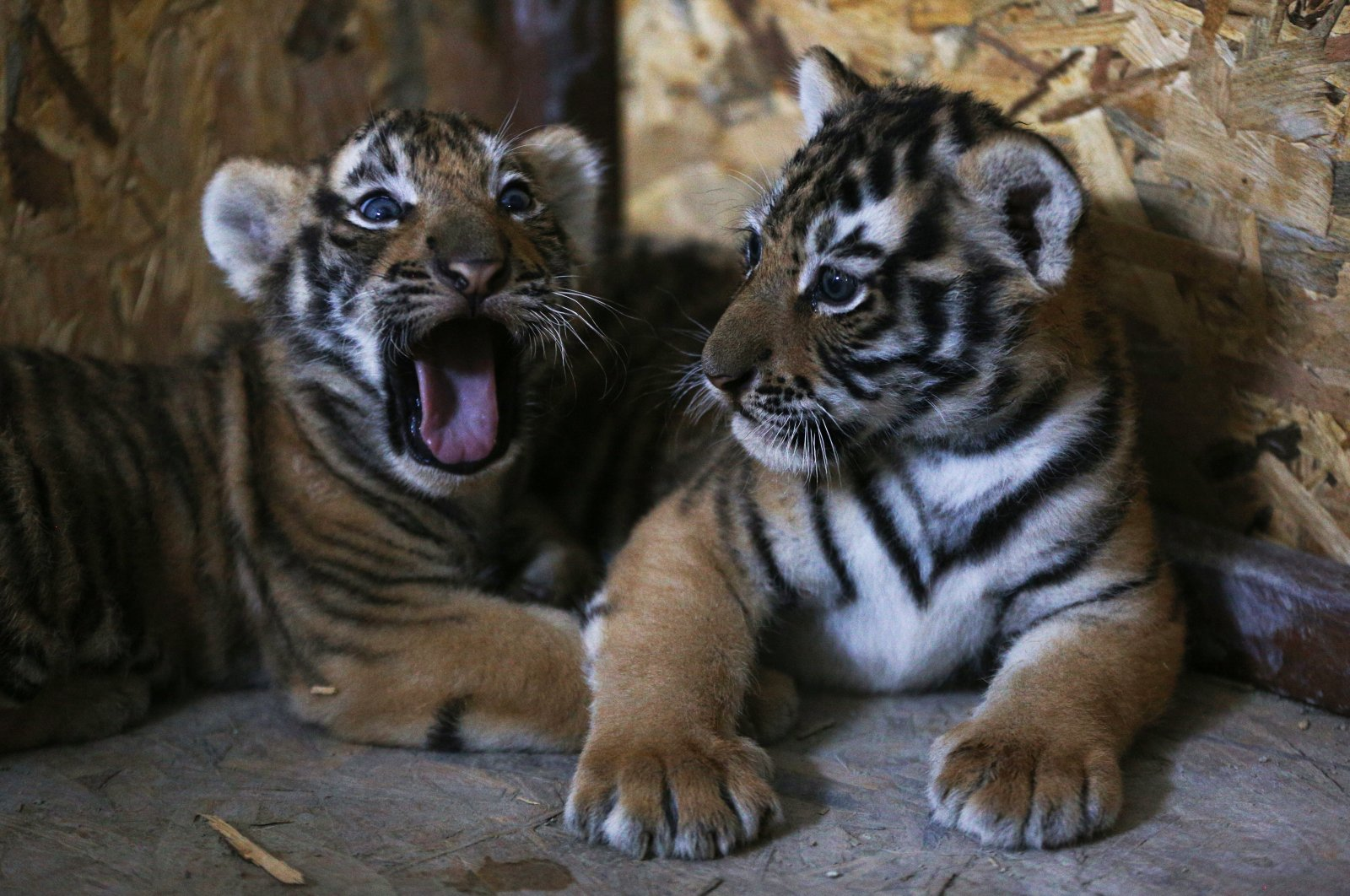 Two Bengal tiger cubs, just a few months old, are seen at AslanPark at Viaport Marina in Tuzla, Istanbul, Turkey, July 2, 2020. (AA Photo)