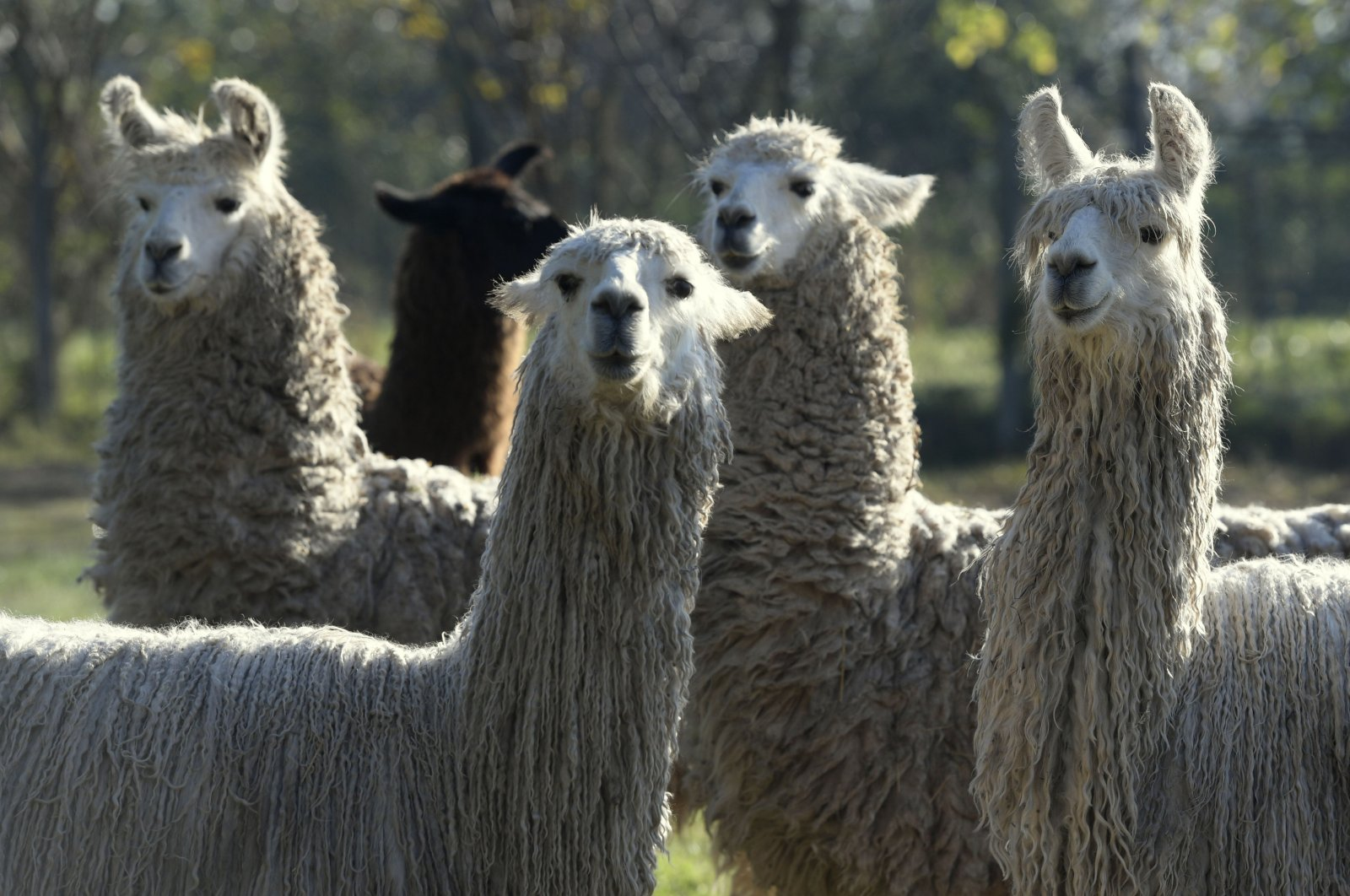 A photo of llamas immunized with the SARS-CoV-2 protein at the experimental field of the National Agricultural Technology Institute (INTA) in Hurlingham, Buenos Aires, Argentina, June 2, 2020. (AFP Photo)