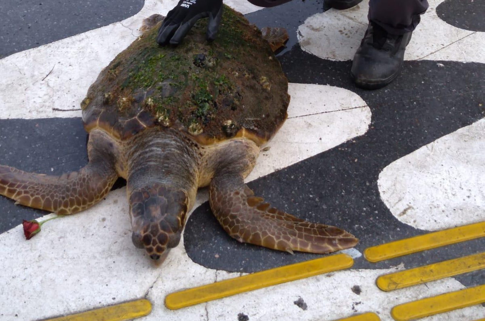 A loggerhead sea turtle is seen after being rescued from the Gulf of Izmir, western Turkey, July 5, 2020. (AA Photo)