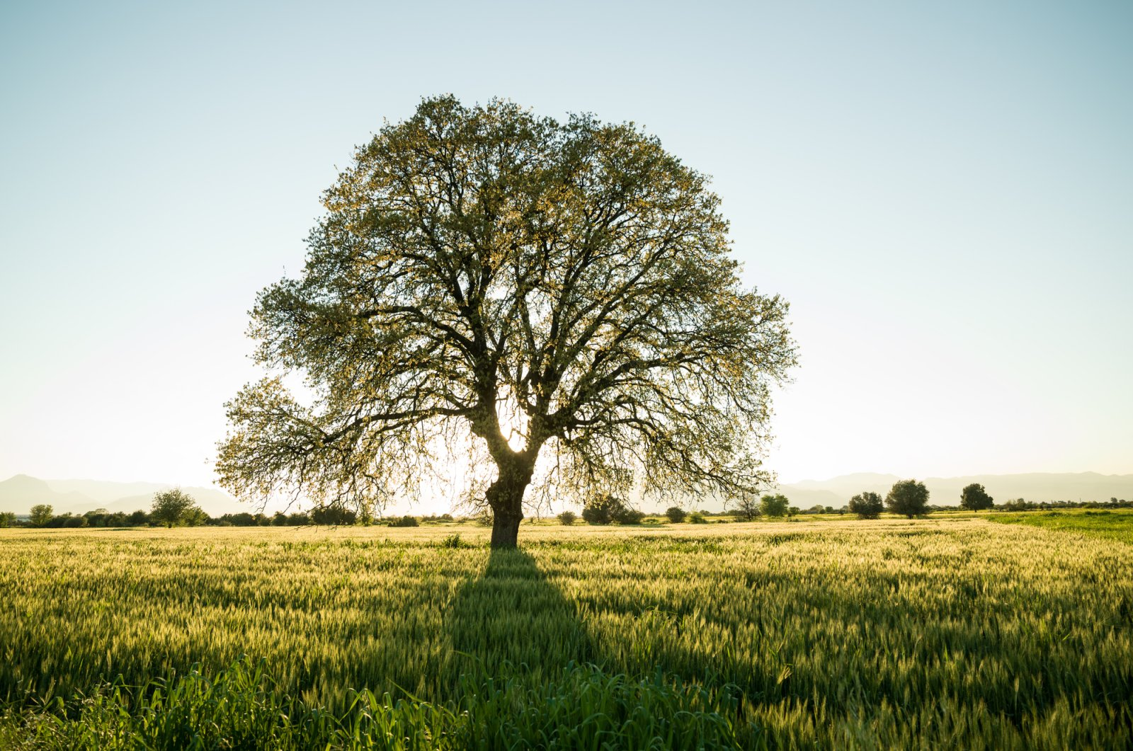 From oaks, cedars and yews to olive trees and sycamores, there are many impressive heritage trees scattered across Turkey. (iStock Photo)