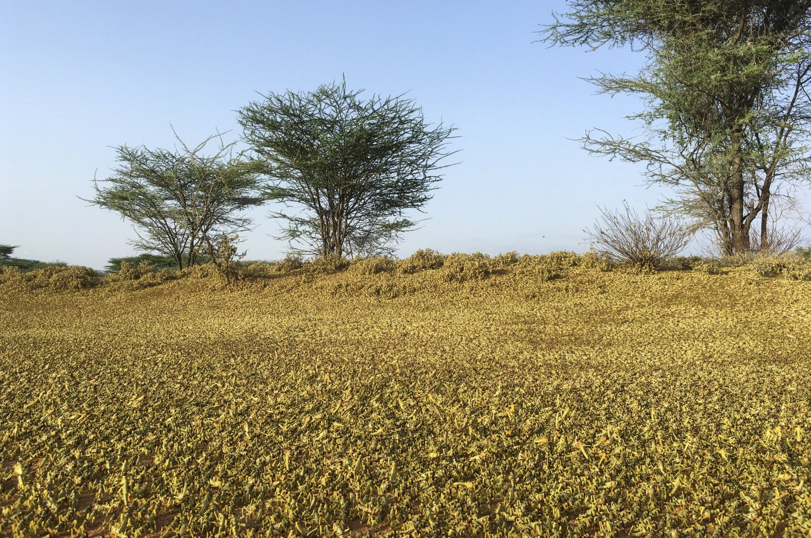 Locusts swarm on the ground south of Lodwar town in Turkana county, Kenya, June 23, 2020. (AP Photo)