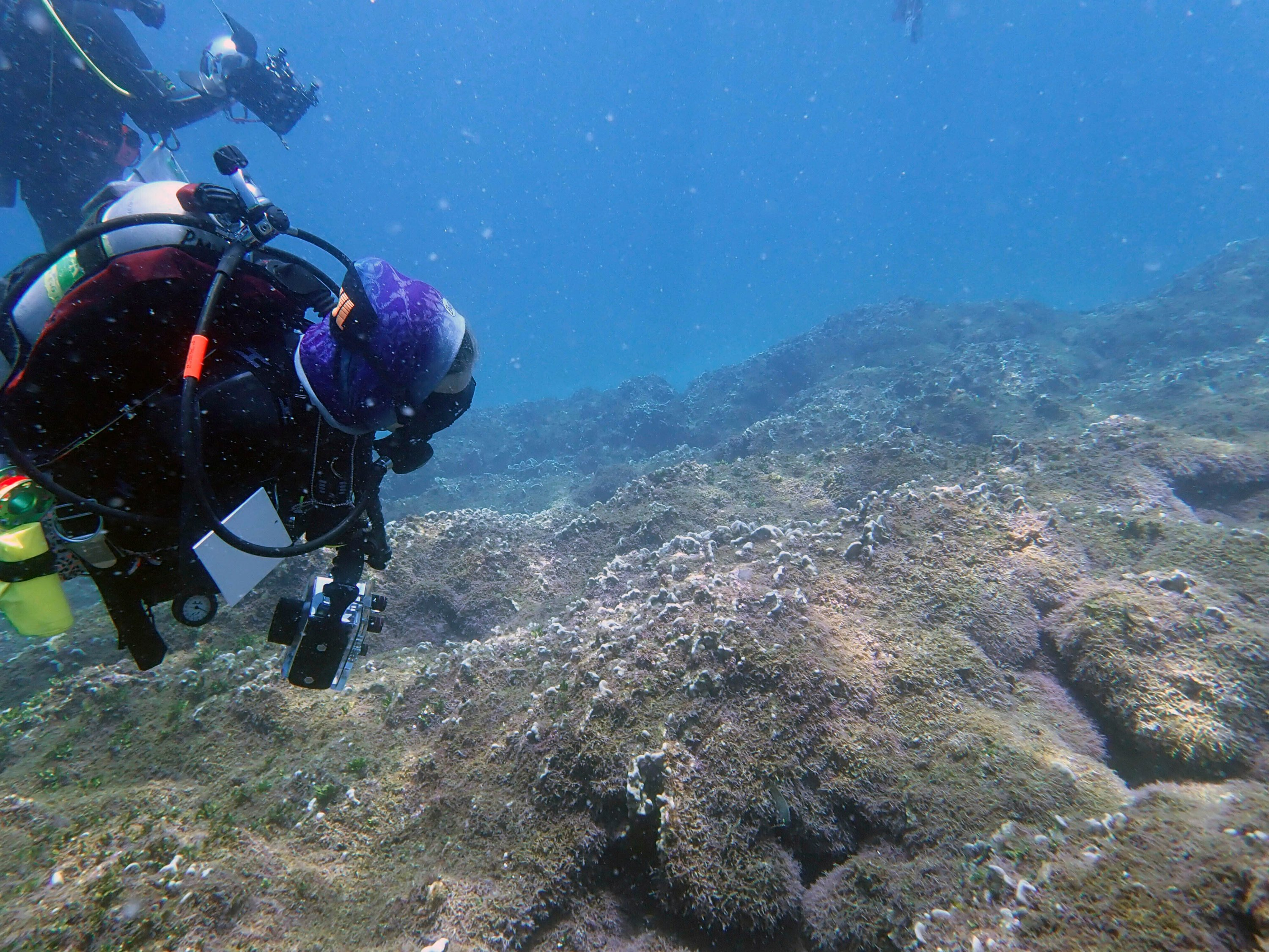 Divers look at a new species of seaweed covering a coral reef at Pearl and Hermes Atoll in the remote Northwestern Hawaiian Islands on Aug. 9, 2019. (Heather Spalding/College of Charleston via AP)