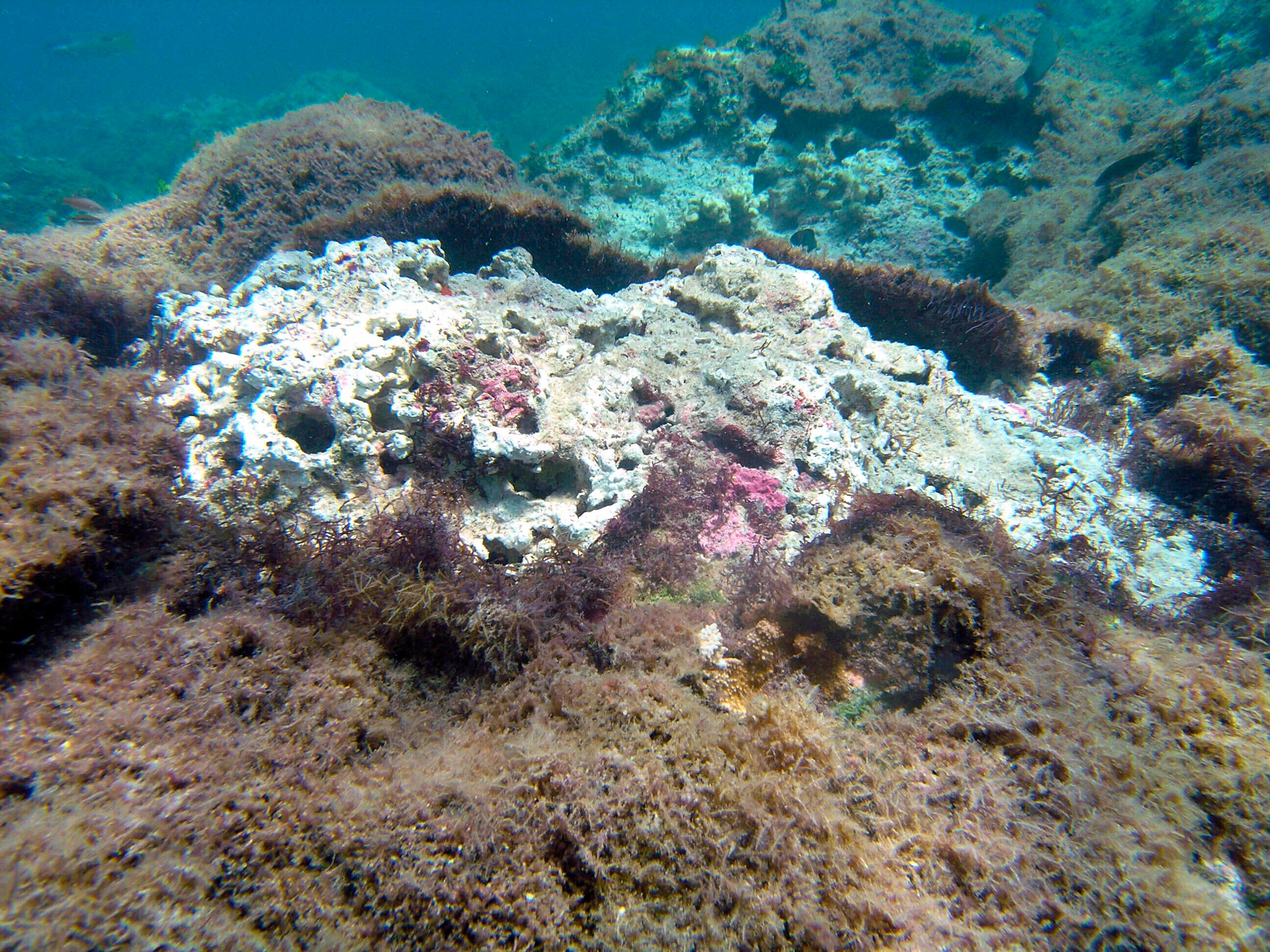 A new species of seaweed covers dead coral on a reef at Pearl and Hermes Atoll in the remote Northwestern Hawaiian Islands, July 31, 2019. (Heather Spalding/College of Charleston via AP)