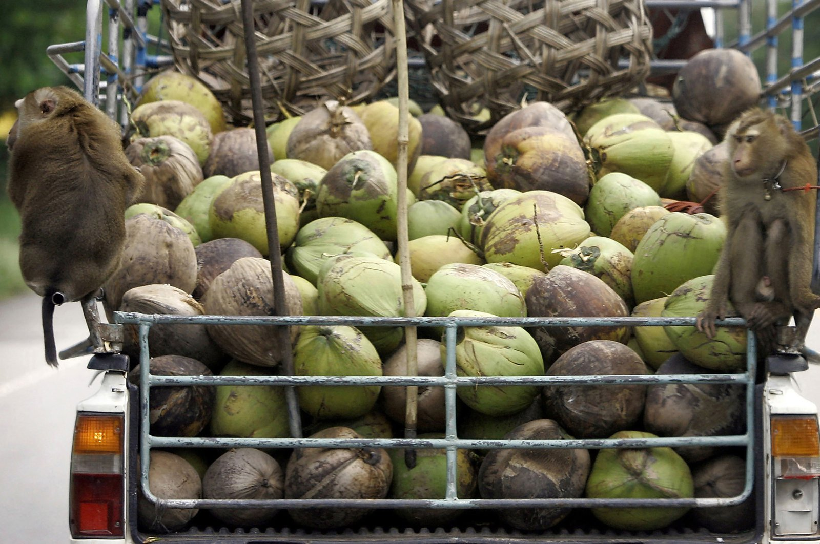 Monkeys ride on the back of a pickup truck loaded with coconuts after they collecting them from a plantation in Chumphon province, southern Thailand, Nov. 3, 2006. (AP Photo)