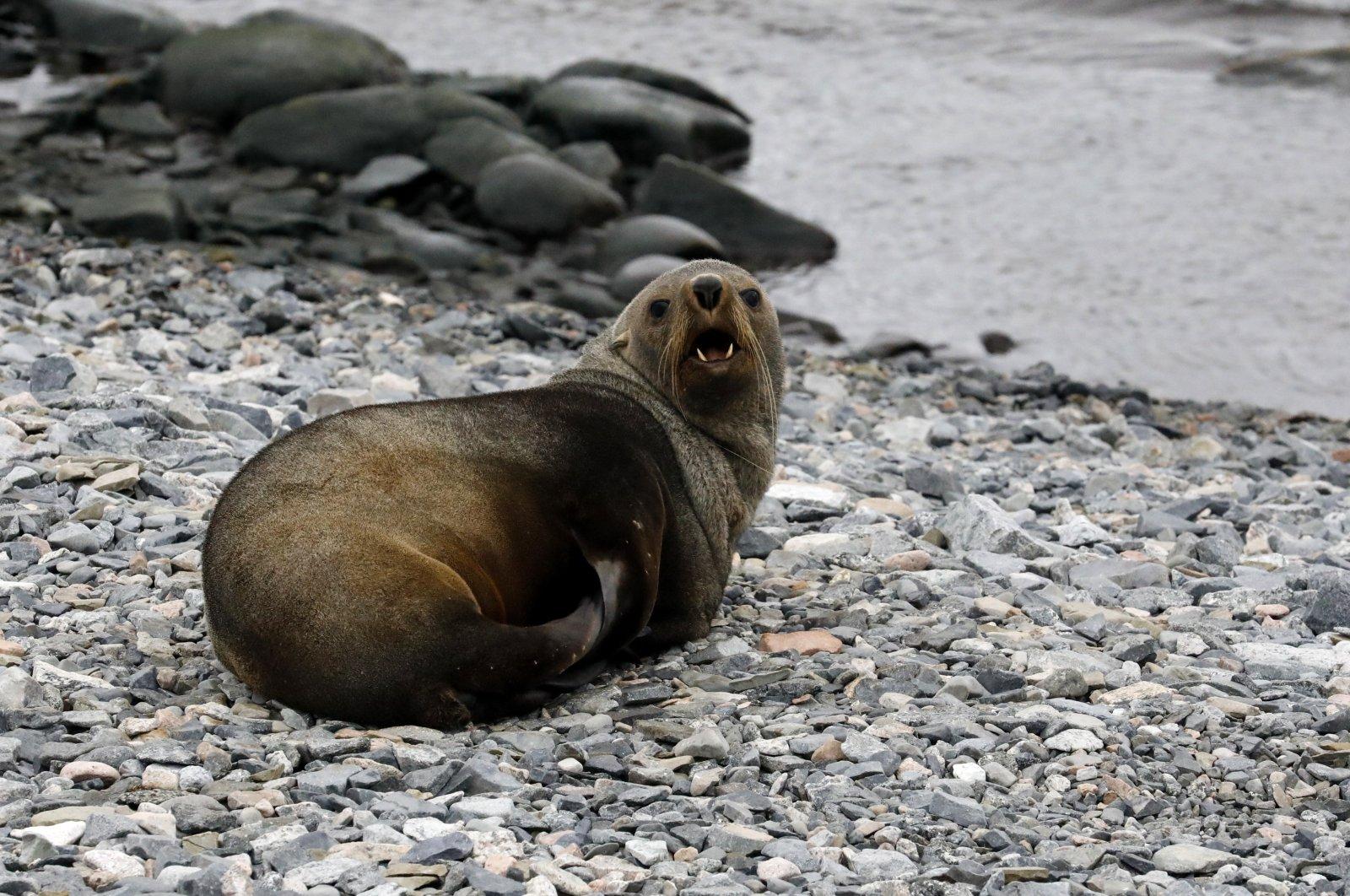 Two seals greeted the team at Horseshoe Island. (Photo by Hayrettin Bektaş)