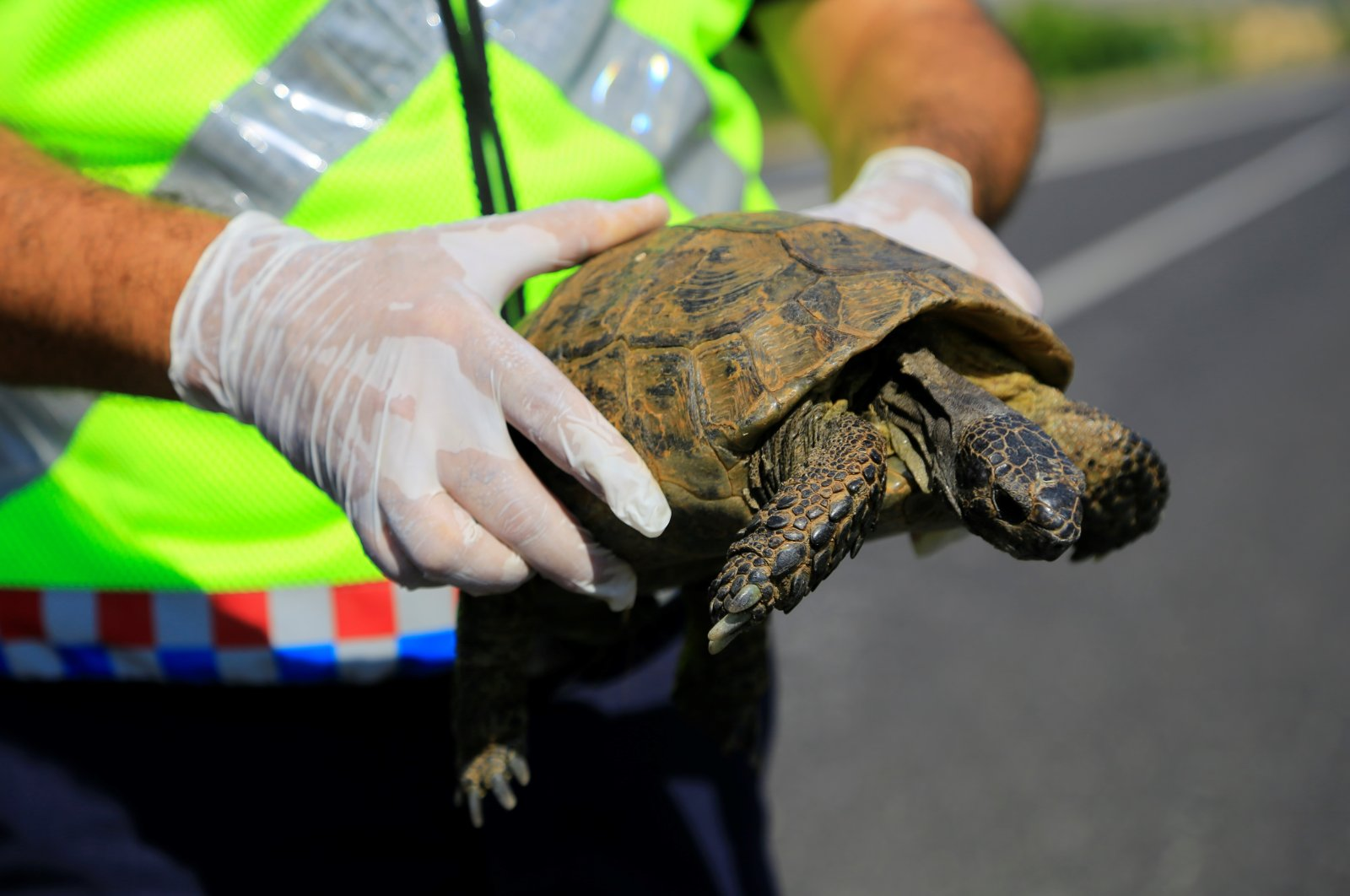 A gendarmerie officer helps a tortoise in Elazığ, Turkey, July 9, 2020. (IHA Photo)