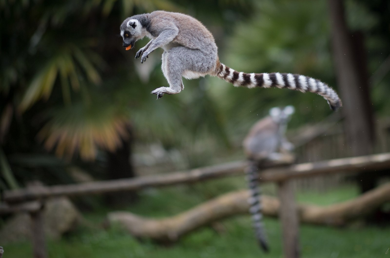 """In this file photograph taken on May 6, 2020, a lemur jumps with a piece of carrot in his mouth at the zoological park """"Planete Sauvage"""" at Saint-Pere-en-Retz, on the outskirts of Nantes. (AFP Photo)"""