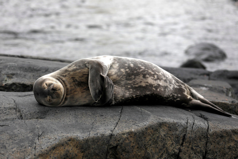 A sleepy seal poses for the camera on Horseshoe Island. (Photo by Hayrettin Bektaş)