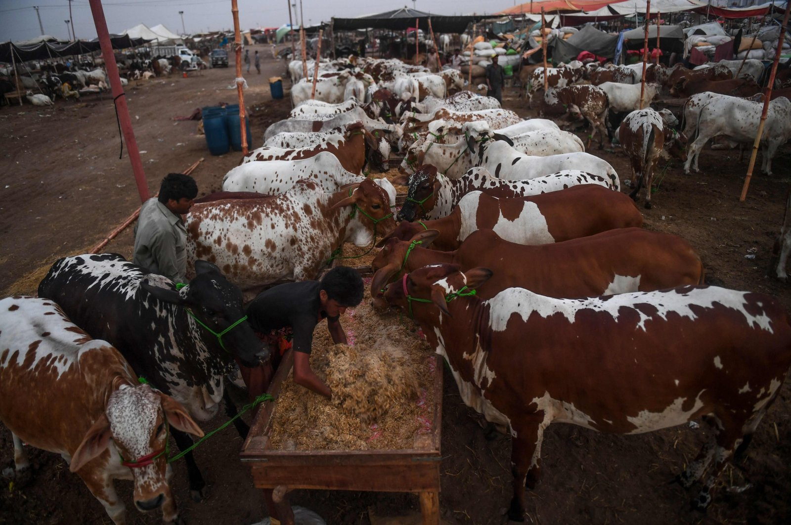 A trader feeds cows at a cattle market set up for the upcoming Muslim Eid al-Adha festival or the Festival of Sacrifice in Karachi, July 10, 2020. (AFP Photo)