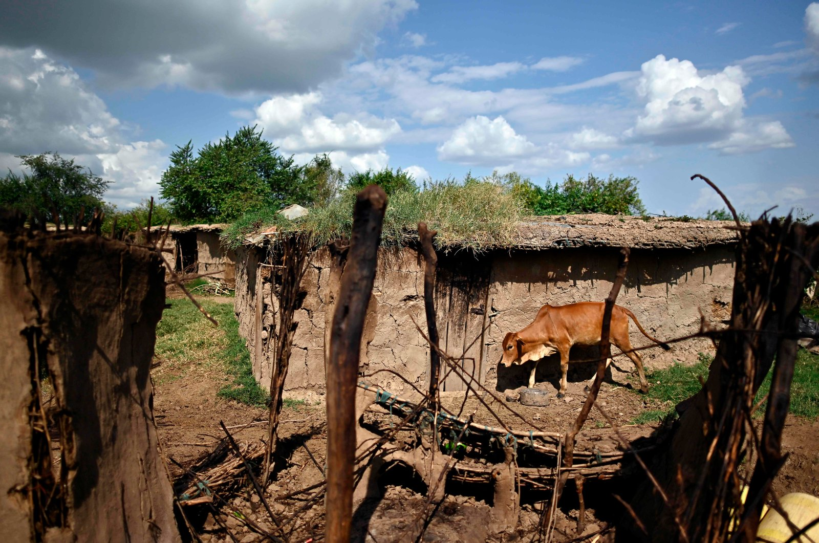 A cow comes to the door of its owner's home, a traditional shelter walled with cow-dung, at their village at Talek in the Maasai Mara National Reserve, Kenya, June 24, 2020. (AFP Photo)