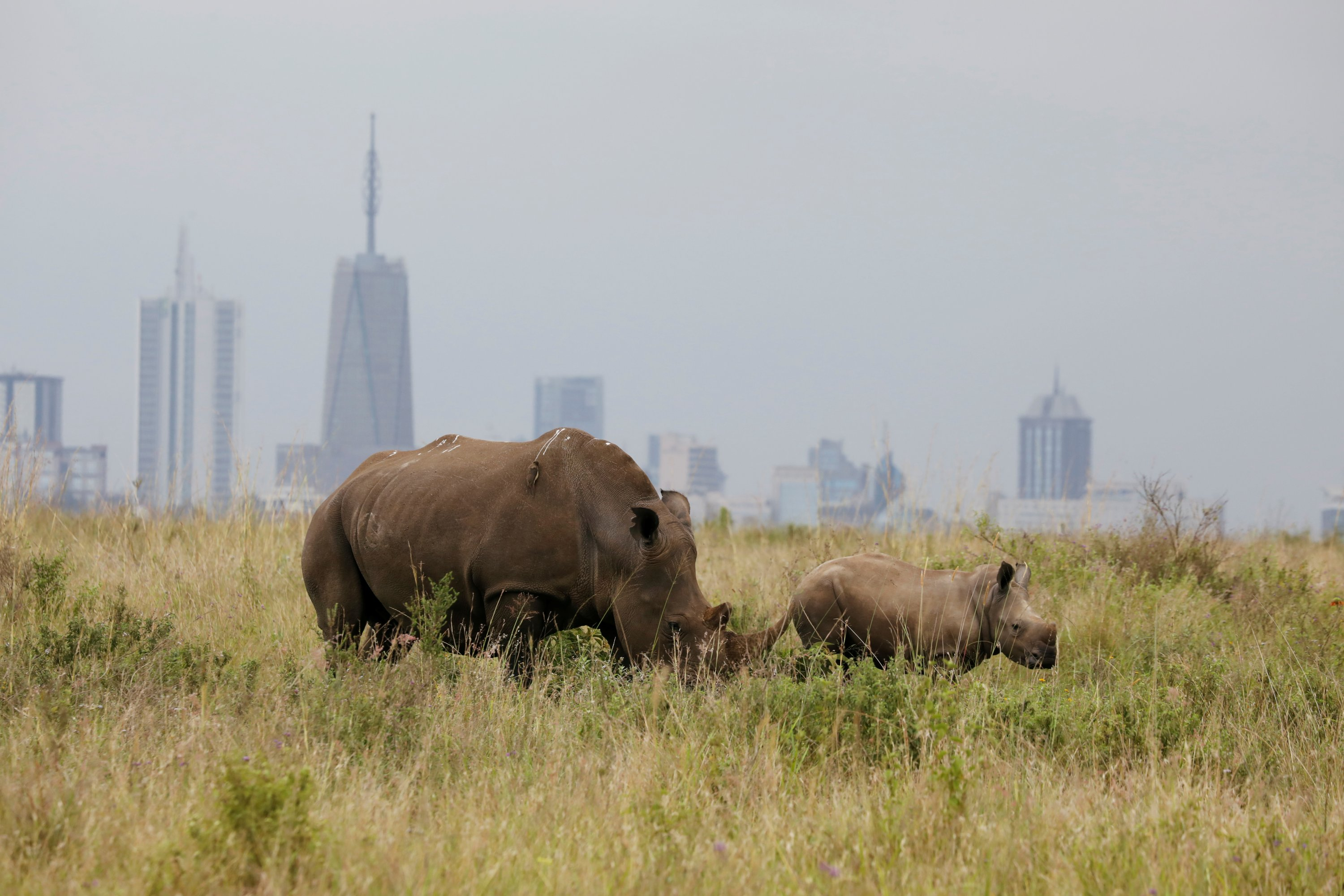 A southern white rhino and her calf are seen inside the Nairobi National Park with the Nairobi skyline in the background, in Nairobi, Kenya, June 15, 2020. (Reuters Photo)