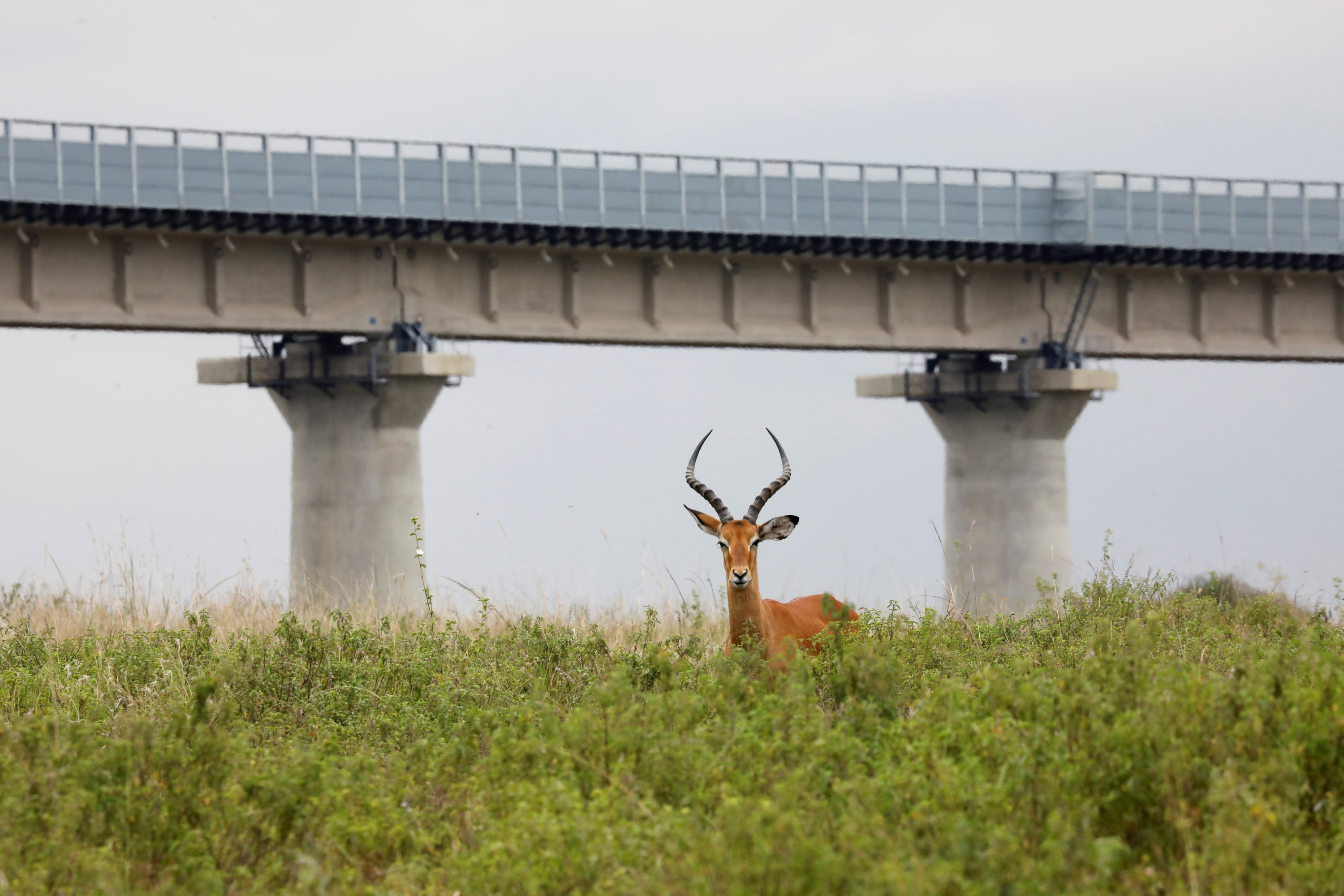 A view of an antelope with a bridge of the Standard Gauge Railway (SGR) line in the background, inside the Nairobi National Park in Nairobi, Kenya, June 15, 2020. (Reuters Photo)